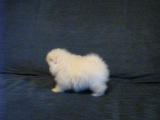 Белый миниатюрный шпиц